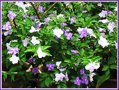 A bush of Brunfelsia pauciflora / B.calycina (Yesterday-today-tomorrow, Day-noon-night)