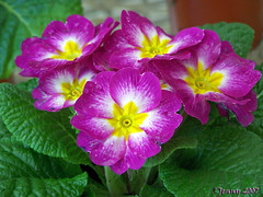 Pretty Polly... (welshlady) Tags: trees flower wow ilovenature purple searchthebest 100views bloom florafauna polyanthus amateurhour theworldthroughmyeyes 25faves mywinner isawyoufirst beautyeyeofthebeholder