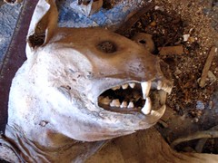 Mummified Fluffy (Judd McCullum) Tags: pet smile rural cat dead skeleton death illinois scary decay teeth gross wierd ugly terror dried mummy refuse twisted nasty contortion mummified