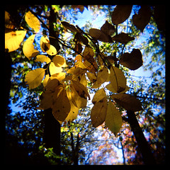 Illuminated (From Behind) (Ralph Krawczyk Jr) Tags: camping autumn tree green fall 120 6x6 nature leaves yellow mediumformat outdoors holga chelsea afternoon michigan toycamera bluesky waterloo squareformat expiredfilm kkc blurrededges agfaoptima160 goteamholga ralphkrawczykjr obligatoryno1