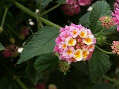 PICT0536 (sancho_panza) Tags: flower flor 2006 per monastery lantana arequipa monasterio santacatalina