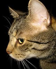 one of my sweethearts (karin_b1966) Tags: animal cat katze domesticanimals haustier dems tier boyswillbeboys catportraits catphotos beautifulcats stubentiger catfaces theworldthroughmyeyes ourcatcompanions a1f1 beautyofthenatureworld