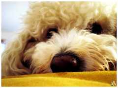 Baby Face (i ea sars) Tags: dog chien pet love co animal puppy sleep fluffy moo hund bichon frise bichonfrise 5bestdogs bestfriend sd10 mascota gos pes   canondigitalixusi 10faves  superaplus aplusphoto superhearts