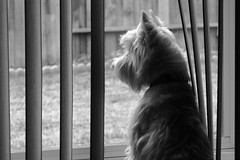 Wee Westie Longing for Squirrel Dinner (Randy Son Of Robert) Tags: bw dog pet white vertical puppy westie canine terrier blinds yoshi longingformrsquirrel weewestie
