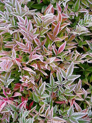 Nandina frosted