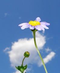 Blue daisy (tanakawho) Tags: blue sky cloud plant flower macro nature stem daisy bud instantfave 1on1flowers