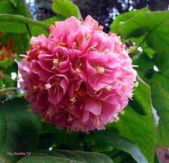 Hortensiatree - Hortensiaboom by 'Annieta' - travelling!