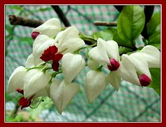Bleeding Heart Vine / Glory Bower / Clerodendon