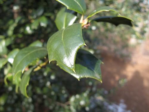 image Ilex x 'Dr. Kassab' curled leaf