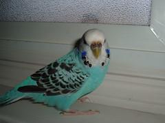 Birds 023 (Dee24) Tags: blue pet budgie