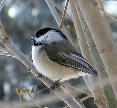 Chickadee (blmiers2) Tags: white newyork black cute green bird nature beautiful birds geotagged blog nikon wildlife gray feathers chickadee faves blackcappedchickadee avian smallbirds chickadees wildbirds poecileatricapillus passeriformes backyardbirds paridae birdphoto chickadeebird blackcappedchickadees nikond40x d40x cappedchickadee chickadeesbirds chickadeebirds blm18 blmiers2