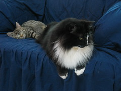Blue Talimo (Tali & Mosie) (veganmichele) Tags: cat kitten tabby tuxedo striped efa kissablekat cccoe coolestphotographers