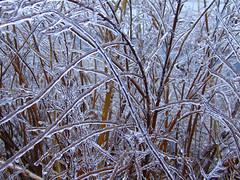 Glass-Bush Twigs