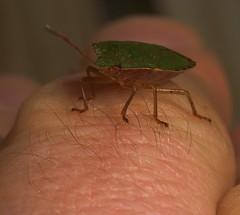 "Green Shield Bug (Palomena prasina)(2) • <a style=""font-size:0.8em;"" href=""http://www.flickr.com/photos/57024565@N00/403496398/"" target=""_blank"">View on Flickr</a>"