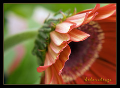 My gerberas again... (helenabraga) Tags: flores flor gerbera excellence outstandingshots 1on1macrosphotooftheday helenabraga shieldofexcellence colorphotoaward superbmasterpiece gerberberas 1on1macrosphotoofthedaymar2007