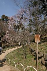 Odoi-ume garden  (norisons2005) Tags: japan geotagged kyoto shrine  kitano ume   tenman geo:lat=350303872 geo:lon=1357341375