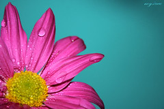I believe~ (~my7uae) Tags: life pink blue flower wet beauty happy joy drop my7uae commentsbest commentsicon