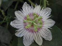 PASSIFLORA (arunava's gallery) Tags: passiflora