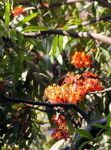 Ashoka flowers, Lalbagh 7 Mar 07