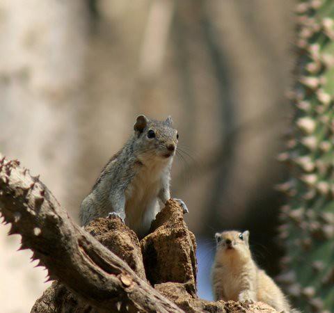 Squirrels Lalbagh 7 Mar 07 four