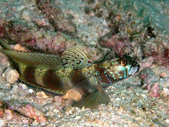 Metallic Shrimp Goby, Surin Islands Thaialnd
