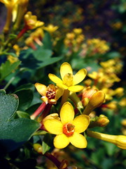 golden currant - Ribes aureum gracillimum