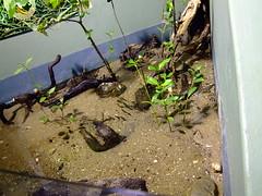 Land Hermit Crabs in Mangrove environment at Sydney Aquarium, Darling Harbour (Vanessa Pike-Russell) Tags: fish animal aquarium penguins marine sydney australia mangrove nsw darlingharbour sharks sealions fujifinepix pc2000 sydneyaquarium coenobita variabilis landhermitcrabs s9600