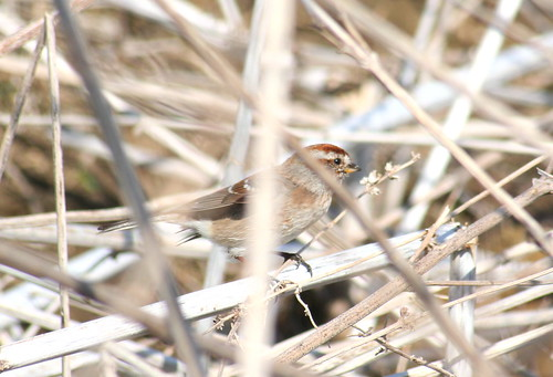 american tree sparrow close