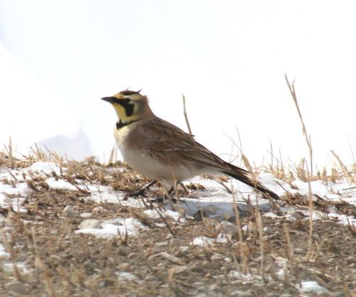 horned lark 02