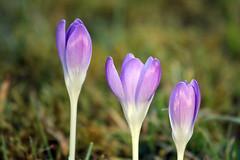 IMG_20070218 1398 (svadilfari175) Tags: flowers blumen lila krokus