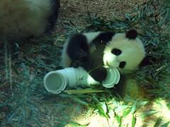 attack the pipe (bob2cleo) Tags: cub panda lan mei zooatlanta pandas lunlun meilan