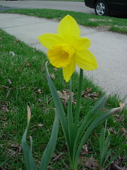 first daffodil of spring!