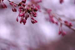 Weeping Cherry buds (mdunham44) Tags: pink trees spring bokeh marymount top20bokeh