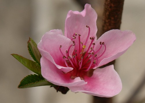 Peach Blossoms Gallery