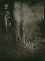 Bleeding tree (BosseB) Tags: tree forest print se1 glassplate dryplate fkd 18x24cm fomatonemg recreationalshooting