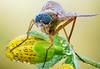 Snipe Fly (johnhallmen) Tags: insect macro diptera rhagionidae canon760d canonmpe65 zerenestacker