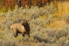 Staying alert (ChicagoBob46) Tags: bullelk elk yellowstone yellowstonenationalpark nature wildlife
