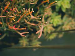 succulents (spooky.mayne) Tags: olympus em1