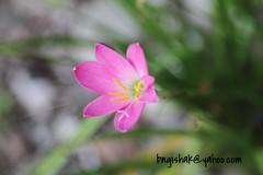 bngishak7DEOS 7D0068 (bngishak On & Off) Tags: bngishak canoneos7d ef24105mmf4lisusm flower bokeh dof nature rainlily