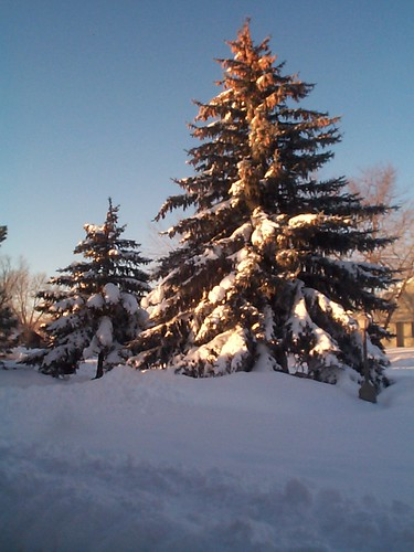 spruce trees covered with snow