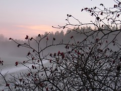 Rosehip ( B i b b i ) Tags: pink winter sunset mist fog drops vinter bush sweden rosa solstice wintersolstice yule sverige twigs nypon rosehip solnedgng dimma buske droppar ngby judarnskogen kvistar vintersolstndet