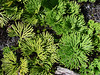 Ground Pine Club Moss