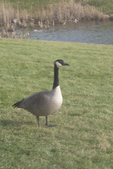 Christmas Eve Goose