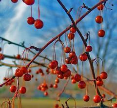 Berries_1 (4tunate1) Tags: red macro nature photoshop interestingness berries explore impressedbeauty