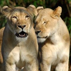 New Lionesses @ National Zoo (Nikographer [Jon]) Tags: two topf25 animal animals topv111 sisters zoo washingtondc smithsonian dc washington lenstagged nikon bravo december leo lion 2006 dec bigcat lions nationalzoo d200 nikkor lioness fonz washdc shera naba pending panthera pantheraleo 80400mmf4556dvr natlzoo nikond200 topvaa nikographer nikonstunninggallery specanimal animalkingdomelite usnationalzoo supremeanimalphoto impressedbeauty 20061230d20051806 nababiep nikographerjon