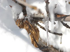 Tree branch with icicle