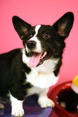 Dog - Cardigan Corgi IMG_0340 (^hSirius) Tags: christmas new xmas party portrait favorite dog pet pets cute male 20d dogs animal animals goldenretriever canon hair puppy studio fur jack pembroke nose golden interestingness big mixed paw corgi eyes furry jrt long canon20d year russel longhair adorable favorites award tie ears retriever professional explore terrier blond short views doggy welsh cutedog breed favourite cutedogs welshcorgi goldilocks bigears rapunzel mongrel mixedbreed cutest cardigan doggie beautifuleyes studioportrait beautifuldog jackrussel winning legged hannibal happynewyear   petportrait longhaired lector cutepuppy animalportrait studiophotography dogportrait  dogtie pembrokecorgi christmasdog businesswear corgipuppy handsomedog beautifulportrait cardigancorgi shortleg beautifuldogs largeears  shortlegged shortlegdog dogwearingtie businessweardog