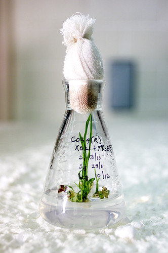 Young rice plants being grown using tissue culture