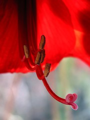 Red mood (Lightspectral) Tags: light red flower canon germany bokeh amaryllis innerlight knigswinter symphonyoflight redmood differentpointofview inpraiseofthelivinglight symphonyofthelivinglight paintedwiththecoloursoflight whenheaventouchesearth c20072008mariarschulzevorberg allrightsreservedpleasedonotusemyphotowithoutmyexplicitandwrittenpermission poetryoflightnet copyrightmariaschulzevorberg wwwpoetryoflightnet copyright2013 mariaismanahschulzevorberg koenigswintergermany
