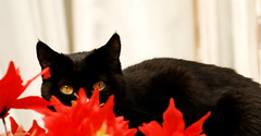 The black cat and the red flowers (pedrosimoes7) Tags: flowers red pets portugal cat lisbon cpt peering encarnado thecontinuum outstandingshots bestofcats impressedbeauty wowiekawozie